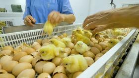 Chick Sorting.jpg