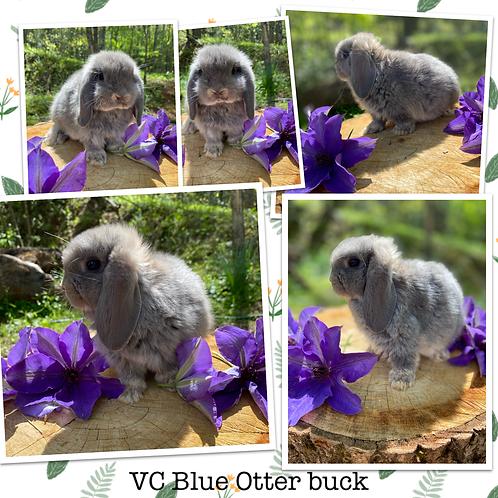 VC Blue Otter buck