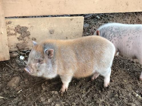 Red male Juliana/Potbelly cross piglet