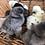 Thumbnail: Silkie Chicks