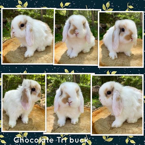 Chocolate Tri Buck