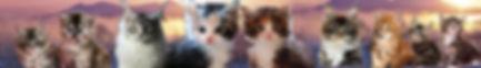 Chats Maine Coon Cartoonland