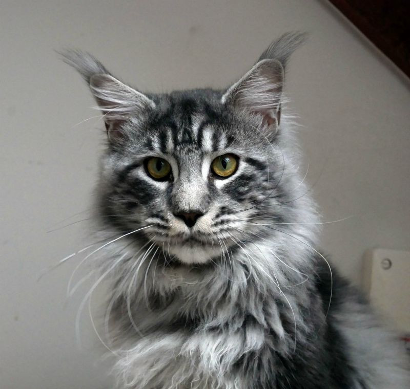 Just a Dream's New Dream, black silver blotched tabby