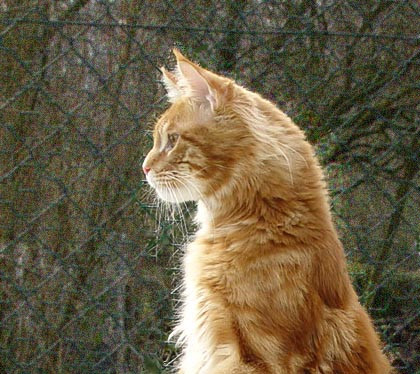 Dream Dandy maine coon roux