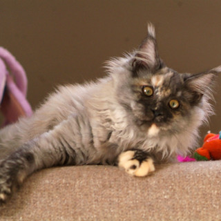 MARQUISE bleue tortie silver