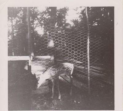 Deer, 1953