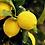 Thumbnail: Huile essentielle Citron / Citrus limonum (15mL)