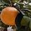 Thumbnail: Huile essentielle Pamplemousse / Citrus paradisi (15mL)