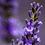 Thumbnail: Huile essentielle Lavande / Lavandula augustifolia (15mL)