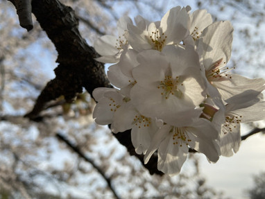 お花見🌸 [2021/03/27]