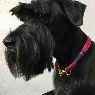 Schnauzer Lana trägt ein Mr.Dog Halsband
