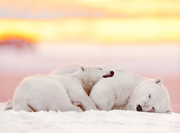 cuddling-polar-bear-framed-photographic-