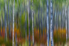 Enchanted Birch