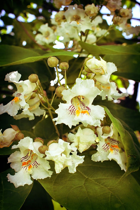 Catalpa Blossoms.jpg