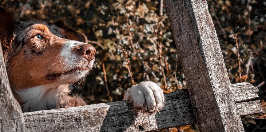 Red merle Australian Shepherd hinter Leiter