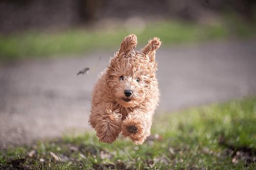 Ein junger, brauner Hund rennt der Kamera entgegen