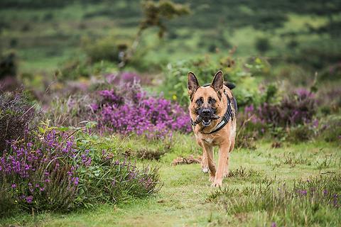 Schäferhund auf Wiese zwischen violetten Blumen