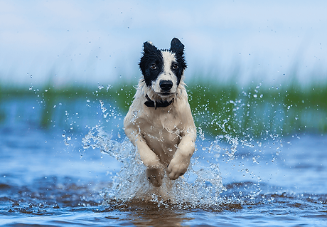 Schwarz-weißer Hund springt durch das Wasser