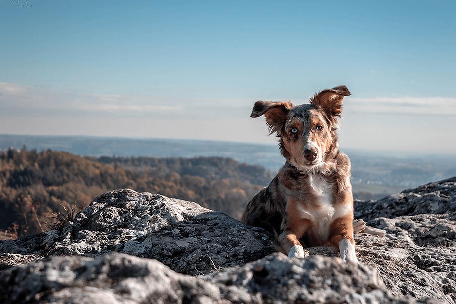 Red merle Australian Shepherd auf einem Felsen