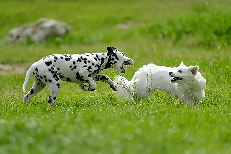 Zwei junge Hunde laufen gemeinsam über eine Wiese
