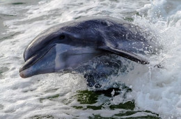 dolphin jumping surfing dolphins best do