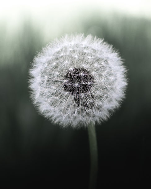 Canva - White Dandelion Flower.jpg