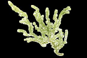 Laminaria%2520(Kelp)%2520Seaweed%2520Iso
