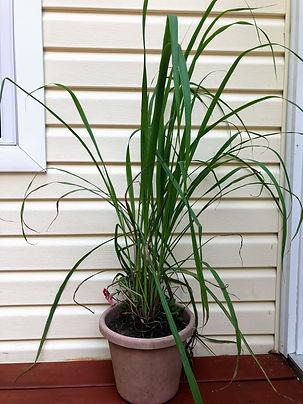 ITEM_5_Lemon_Grass Plant.jpg
