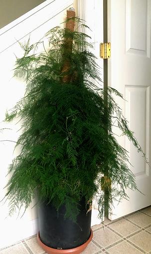 ITEM_9_Ornamental_asparagus_plumosa_Plant.jpg
