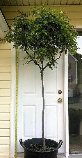 ITEM _1_Seven_Feet_Tall_Curry_Leaf_Plant