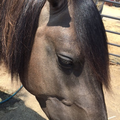 Southern Spirit ( stallion )