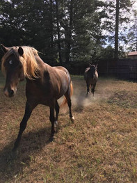 Toby's Samson ( stallion )