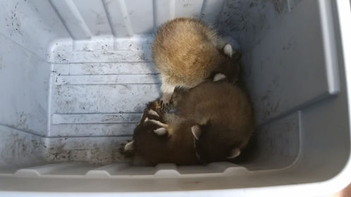 Removed 6 baby racoons and a momma. Everyone was safe!
