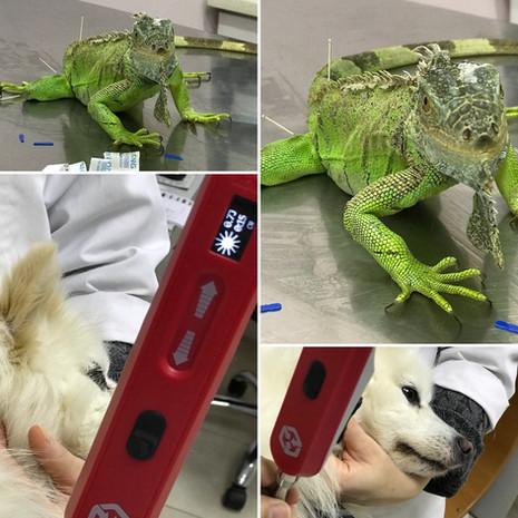 Egzotik Hayvanlarda Akupunktur