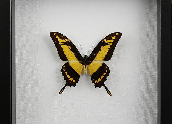 Framed PapilioThoas