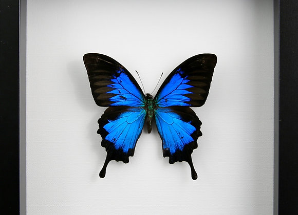 Framed Papilio ulysses ulysses