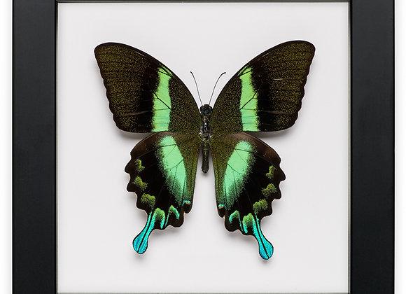 Framed Papilio Blumei