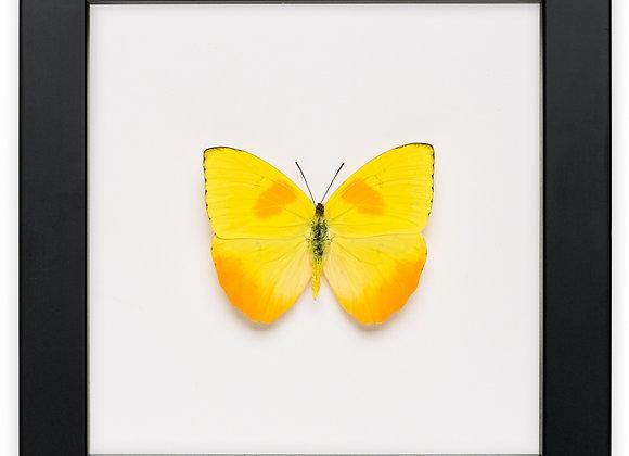 Framed Phoebis Philea