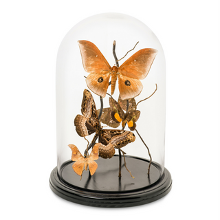 Large Moth Dome