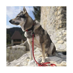Atila from with red Color Block martingale slip collar and red leash