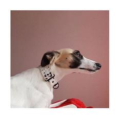 Silken windhound from Austria with 3.8 cm terazzo colla