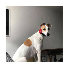 Moana - the greyhound from 🇺🇦 with red Duo Block martingale collar