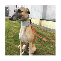 Whippet from Lithuania