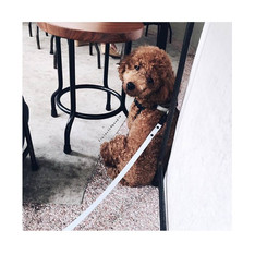 Finlay the poodle with our Snow White leash !