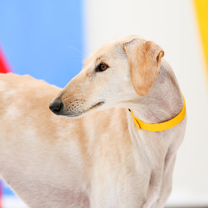 Sunshine Yellow collar