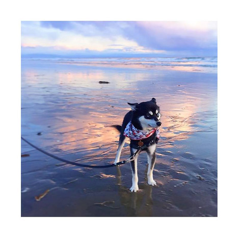 Appolo the Alaskan Kleekai from sunny California