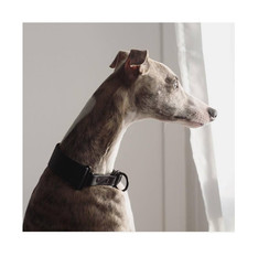 Dio the whippet