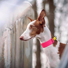 """Charm the queen 💕  With 1.5""""/3.8cm neon pink & neon yellow collar"""