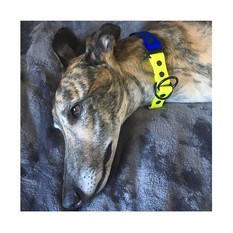 Mantis from with blue and neon yellow color block martingale collar