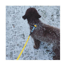 Lagotto Romagnolo with yellow and pale blue set!